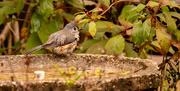 20th Dec 2020 - Bird in the Birdbath!