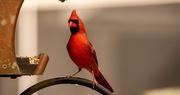 20th Dec 2020 - Mr Cardinal Grabbing a Bite!