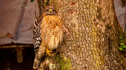 20th Dec 2020 - Red Shouldered Hawk, all Puffed Up!