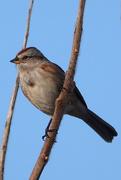 19th Dec 2020 - American Tree Sparrow