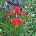 Aztec Lily ~ by happysnaps
