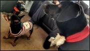 19th Dec 2020 - Sadie and Oreo getting in the Xmas spirit!