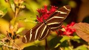 21st Dec 2020 - Zebra Longwing Butterfly!