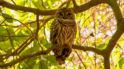 21st Dec 2020 - My Barred Owl Friend was Back Today!