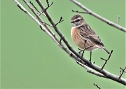 22nd Dec 2020 - I saw Mrs Stonechat first