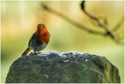 23rd Dec 2020 - A cheeky robin eating the oats I put down on our walk today