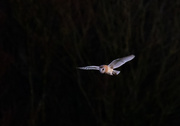 21st Dec 2020 - Barn owl