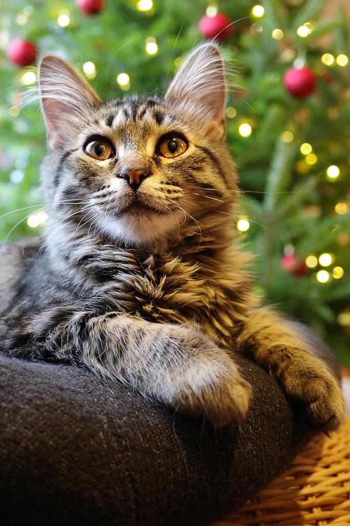 Xmas cat by vera365
