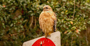 22nd Dec 2020 - Red Shouldered Hawk Scoping Out the Grounds!