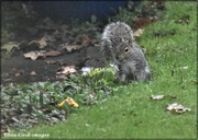23rd Dec 2020 - What's he doing digging in  my vegetable patch?