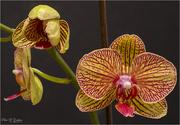 23rd Dec 2020 - Orchid
