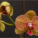 Orchid by pcoulson