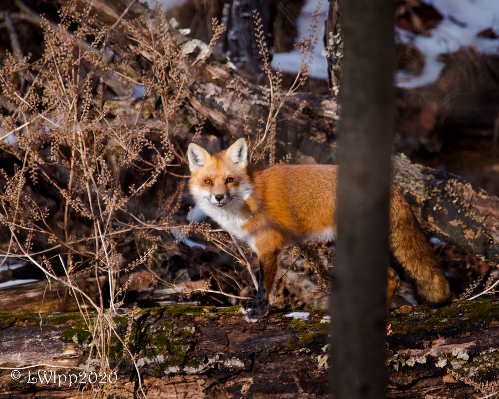 Foxy Lady by lesip