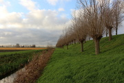 23rd Dec 2020 - Rows of pollard trees