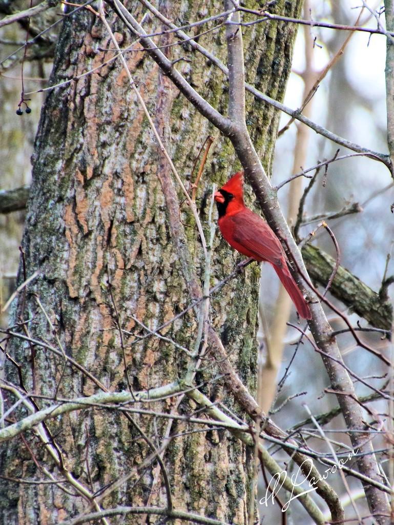 Cardinal by flygirl