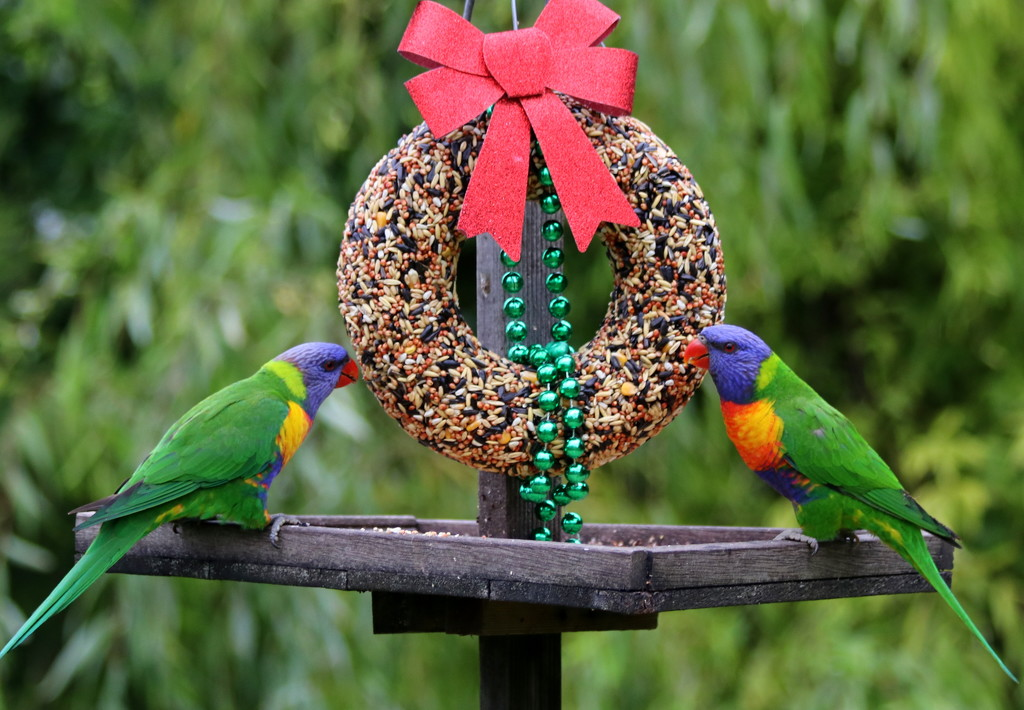 Merry Christmas from the lorikeets by gilbertwood