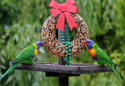 24th Dec 2020 - Merry Christmas from the lorikeets