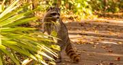 23rd Dec 2020 - Rocky Raccoon Peeking Over the Bush!