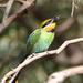 Hungry Rainbow Bee-eater by flyrobin