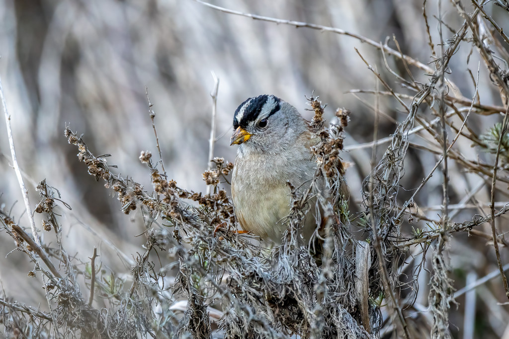 White-crowned Sparrow by nicoleweg