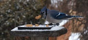 26th Dec 2020 - Treats for the Blue Jay