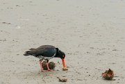 26th Dec 2020 - South Island Pied Oystercatcher eating kina