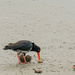 South Island Pied Oystercatcher eating kina by maureenpp