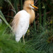 Adult cattle egret by sugarmuser