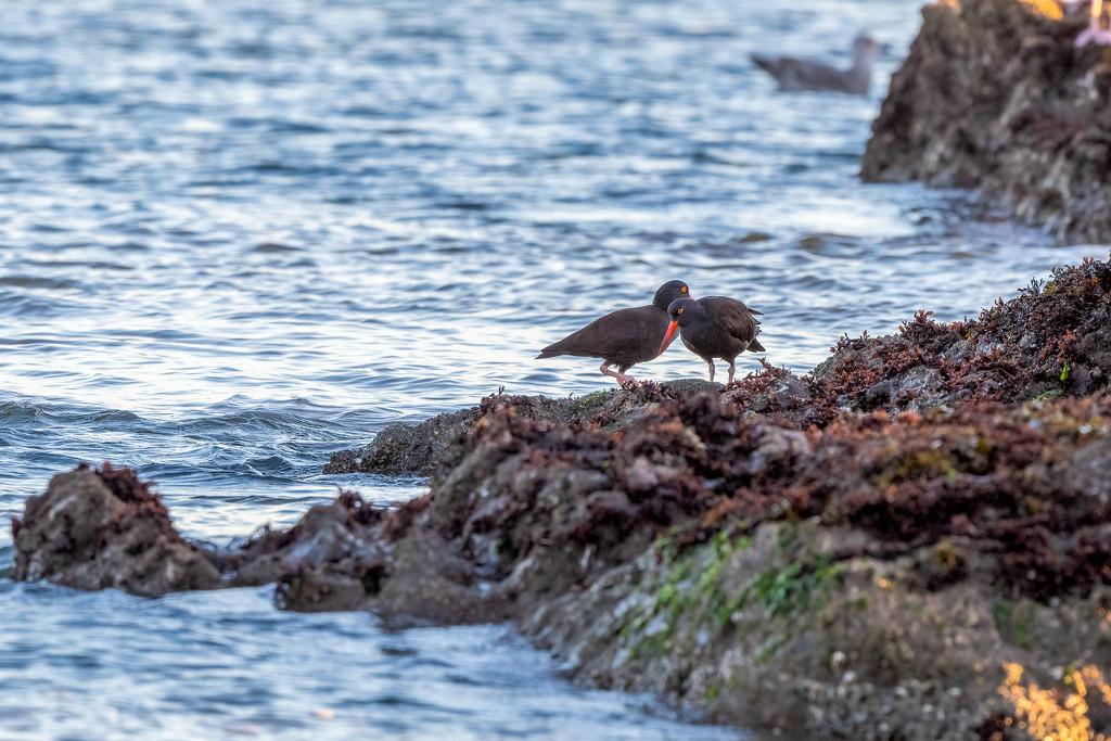 Oystercatchers by nicoleweg