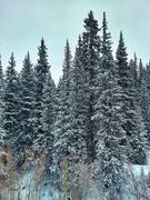 25th Dec 2020 - Snowy Pines