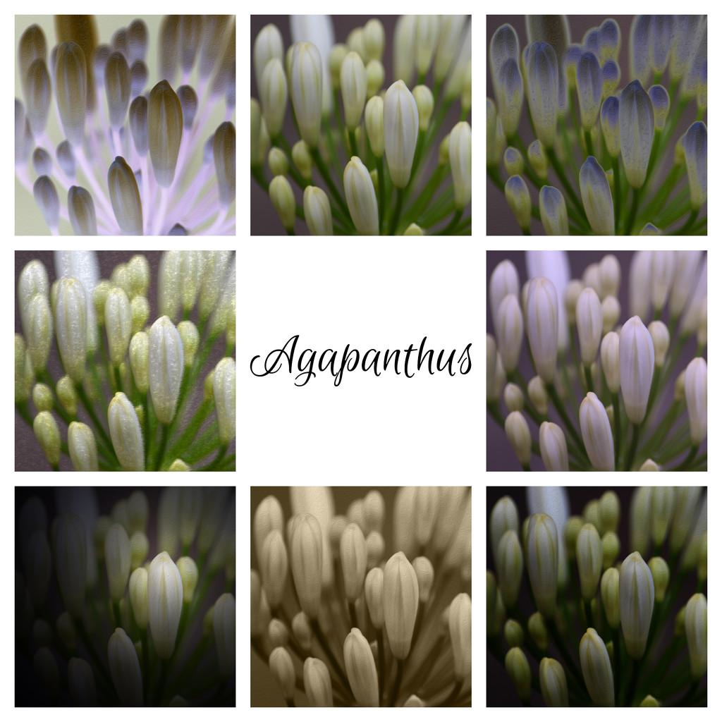 Agapanthus by kgolab