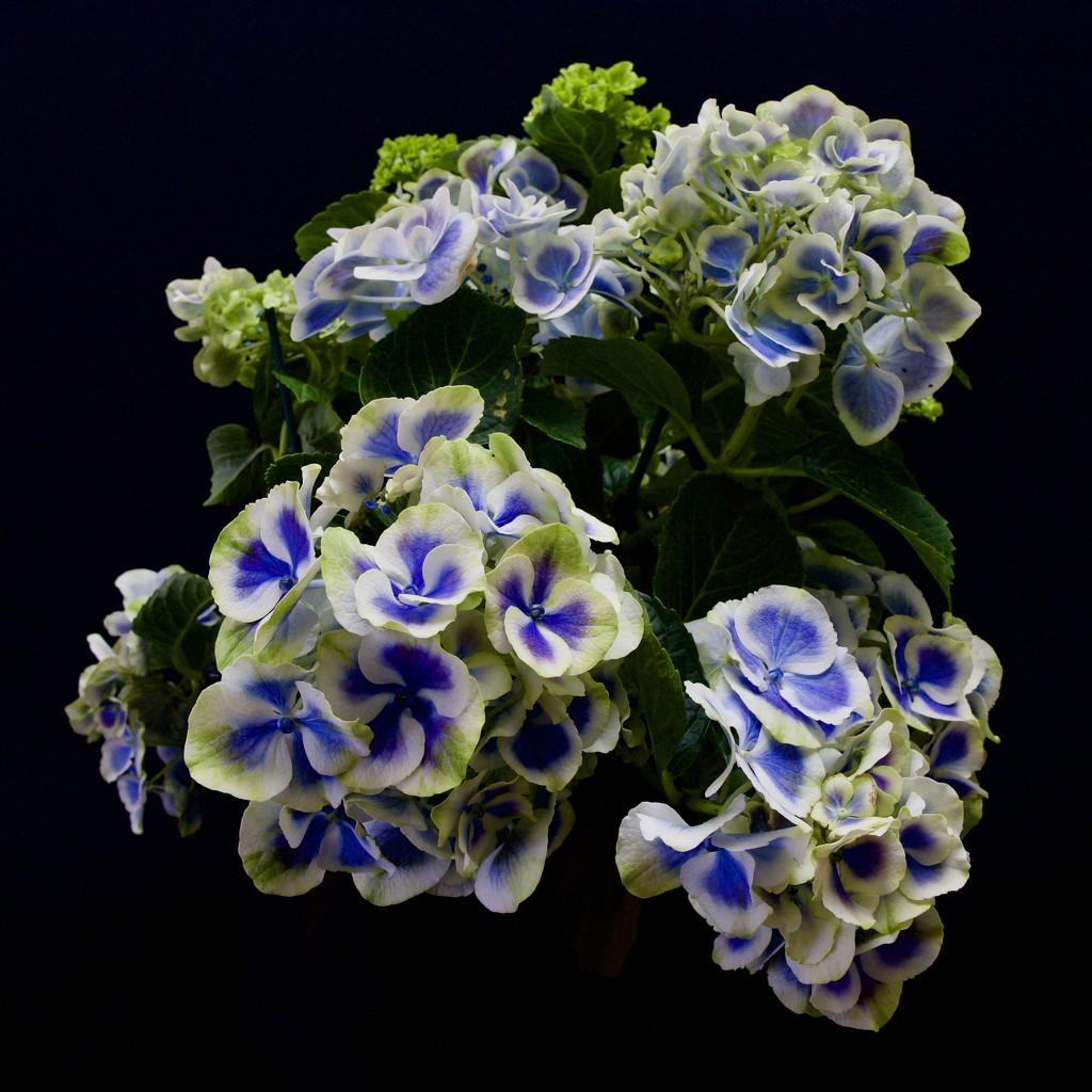 Hydrangea Macrophylla PC260741 by merrelyn