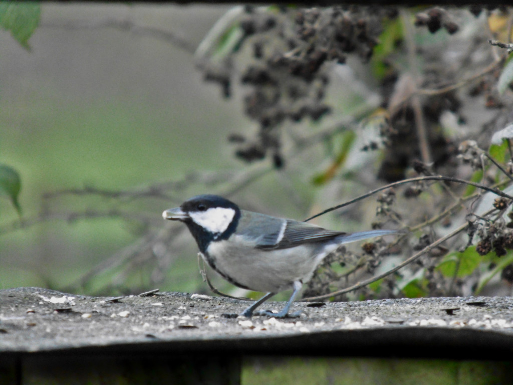 Coal Tit by grizzlyadventures