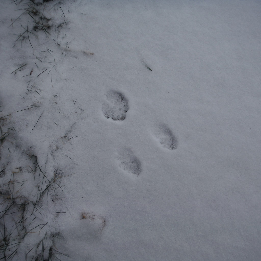 Paw Prints in the Snow by spanishliz