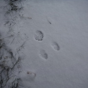 26th Dec 2020 - Paw Prints in the Snow