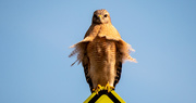 26th Dec 2020 - Red Shouldered Hawk in the Breeze!