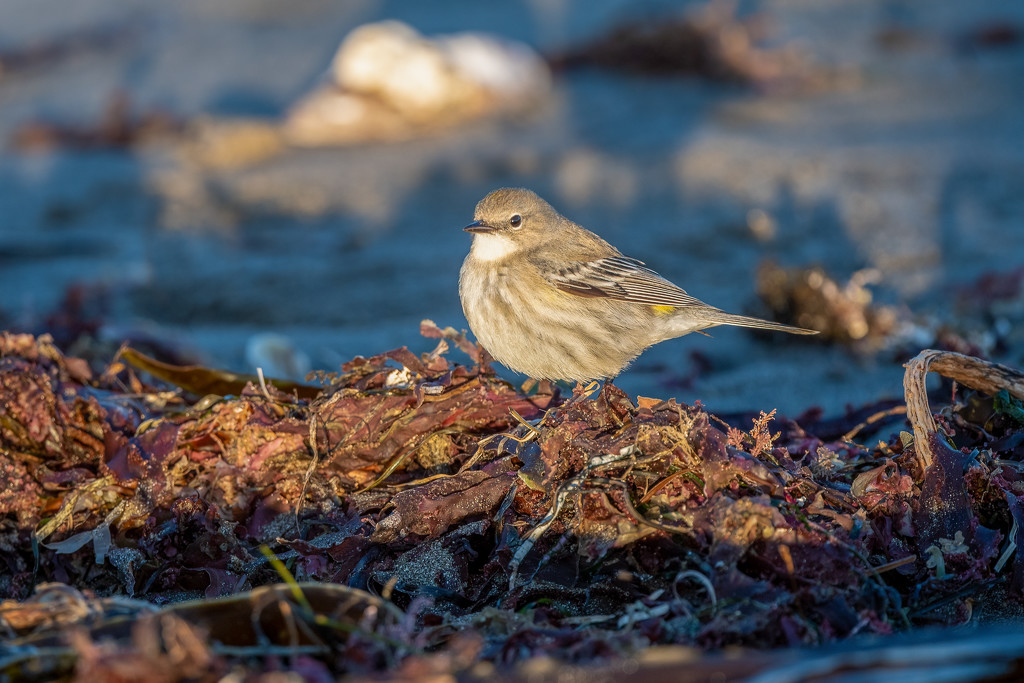 Another Yellow-rumped Warbler by the beach by nicoleweg