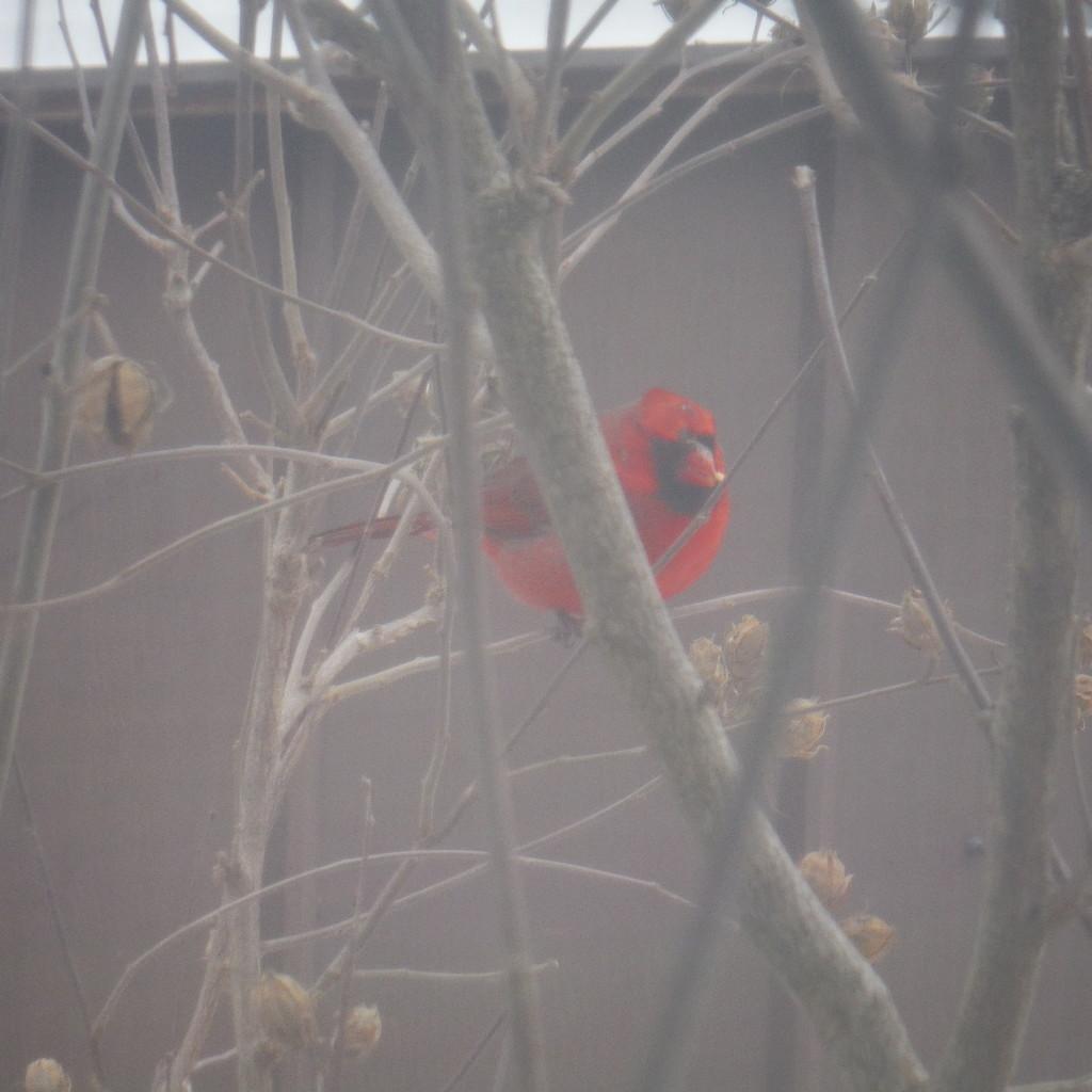 Cardinal Outside My Window by spanishliz