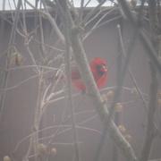 27th Dec 2020 - Cardinal Outside My Window