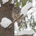What do you call an owl with a sore throat? by fayefaye