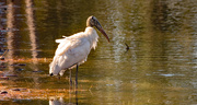 27th Dec 2020 - The Woodstork Wasn't Afraid of the Water!