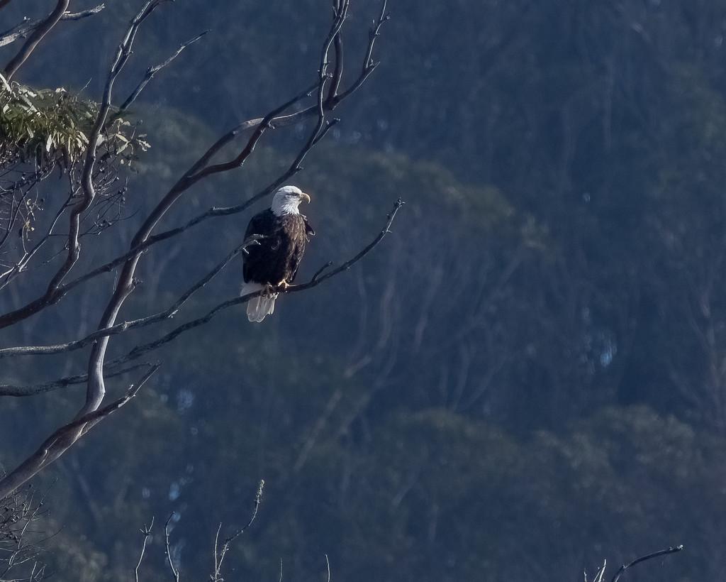 Bald Eagle by nicoleweg