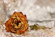 28th Dec 2020 - A Christmas Rose