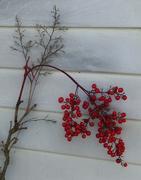 28th Dec 2020 - Winter Berries