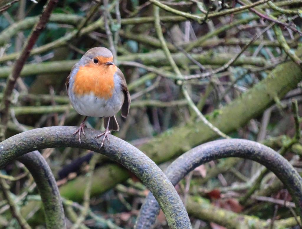 Robin by bybri