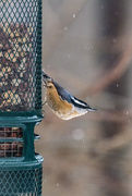 9th Dec 2020 - Red-Breasted Nuthatch