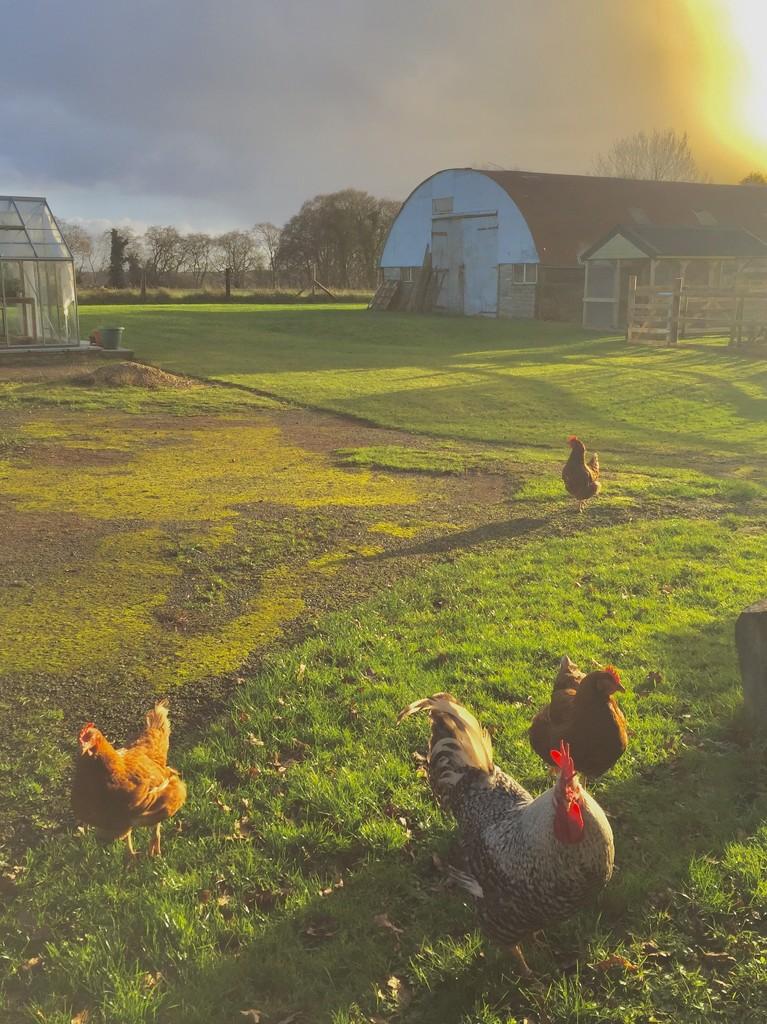 Hens! by lilaclisa