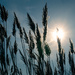 Grass In The Sun by swchappell