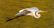 28th Dec 2020 - Egret Fly-by!
