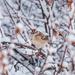 snowy sparrow by aecasey